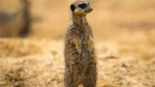 A meerkat is pictured in its enclosure at the Thoiry Zoo and Park, in Thoiry, west of Paris, on April 23, 2018