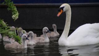 Swans in Abingdon