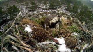 Osprey EJ in nest