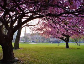cherry blossom in St Andrew Square, Edinburgh