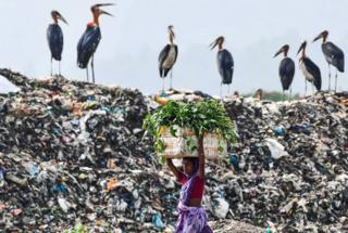 A woman carries a box past a group of storks sat on top of a rubbish tip