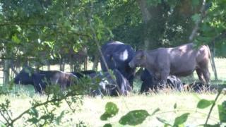 Cows at Pinstraw Farm