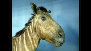 1883年8月12日在荷兰阿姆斯特丹阿蒂斯动物园去世的阿姆斯特丹斑驴肖像