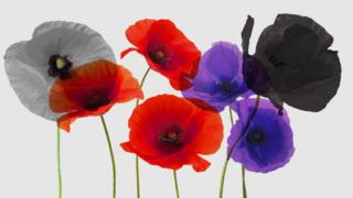 Four different colour poppies on a grey background.