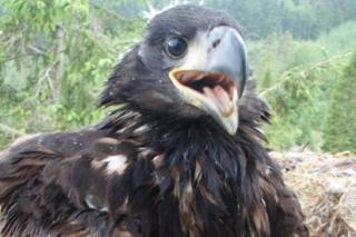 Sea eagle chick Shelly