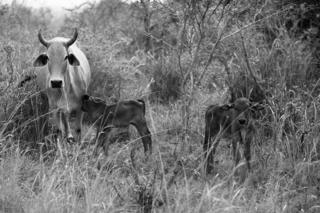 Paula Cardoso's cattle