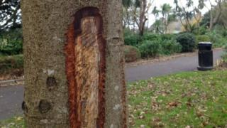 Cuts on the trunk of a tree at Nothe Gardens
