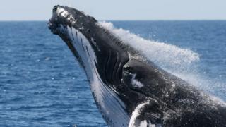 Ballena jorobada (Foto: Christian Miller / Ocean Alliance)