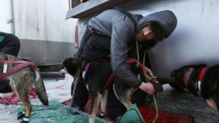 A musher preparing his dogs