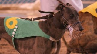 等候出賽的格力犬(BBC中文圖片)