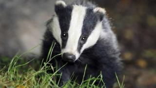 science A badger