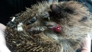 A picture of an injured hedgehog