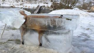 Fox in ice