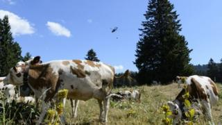 A Swiss army helicopter delivers water for cows. Photo: 21 July 2015