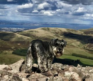 A miniature schnauzer on Scald Law in Midlothian