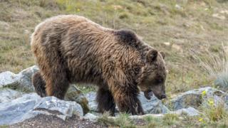 Brown bear in Pyrenees - file pic, 3 Sep 18