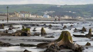Borth's 'sunken hundred' trees uncovered by Storm Hannah