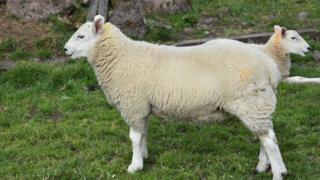 """Two-headed sheep"""