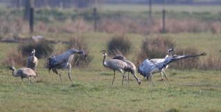 Cranes on the Somerset Levels