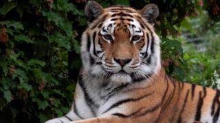 نمر سيبيري في حديقة حيوانات