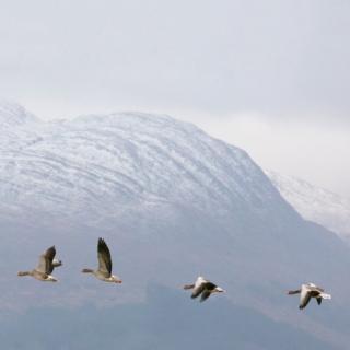 Greylag geese with Garbh Bheinn, Loch Sunart, Highland, Scotland