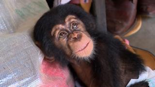 Chimpanzé resgatado