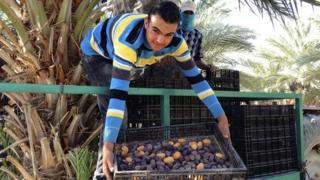Hurma toplayan bir Filistinli