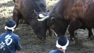 Japan bullfighting