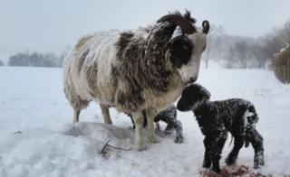Овечка и ягнята на в заснеженном Северном Йоркшире