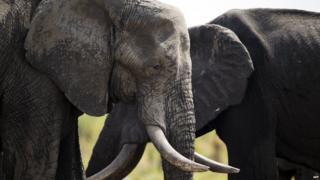 Two elephants in Hwange park