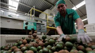 Imagem mostra homem trabalhando em indústria de abacates
