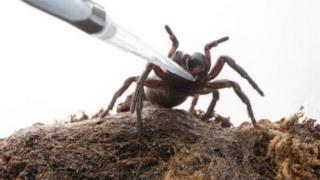 นักวิจัยเก็บพิษจากแมงมุมใยกรวยออสเตรเลีย