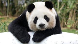 Большая панда на юге Китая