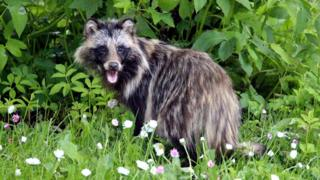 A raccoon dog in a garden