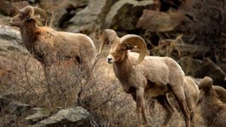 environment sheep