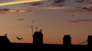 Pigeons come to rest on the rooftops of houses in Cardiff at sunset