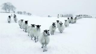 Овца превратилась в животное, разрушительно воздействующее на природу