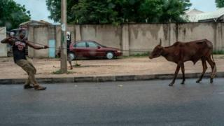 man dey struggle to comot cow from road.