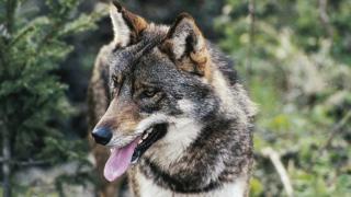 Фотографія вовка з Італії