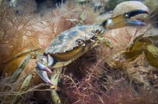 Crab explores the seabed off the coast at Sheringham