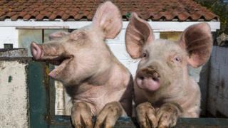 Pigs at Hartcliffe Community Farm in Bristol