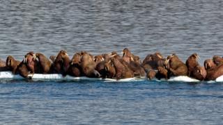 Walruses huddled on the ice