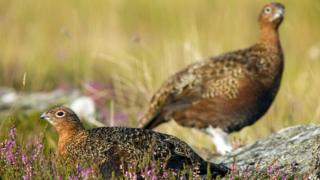 Two red grouse in heather