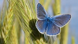 Голубая бабочка Polyommatus icarus