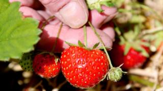 Strawberries (Image: BBC)