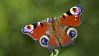 Butterfly Conservation handout photo of a peacock butterfly, as conservationists have warned that many of the UK's common and garden butterfly species could be in decline