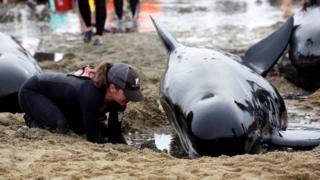 วาฬนำร่อง, Pilot Whale, เกยตื้น, นิวซีแลนด์, เกาะใต้