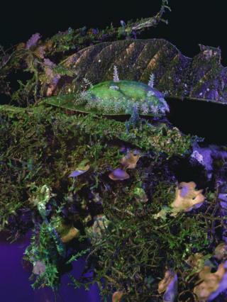 Parasa indetermina with Aretaon asperrimus