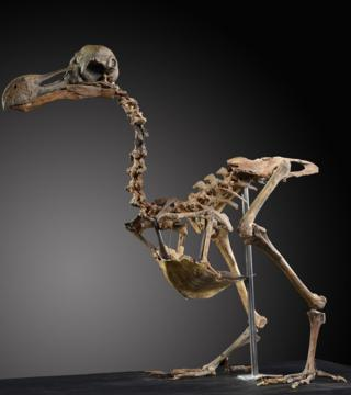 Dodo skeleton to be auctioned