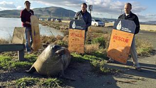 Photo from California Highway Patrol shows experts from Marine Mammal Center trying to coax an elephant seal away from a highway in Sonoma, California. 28 Dec 2015